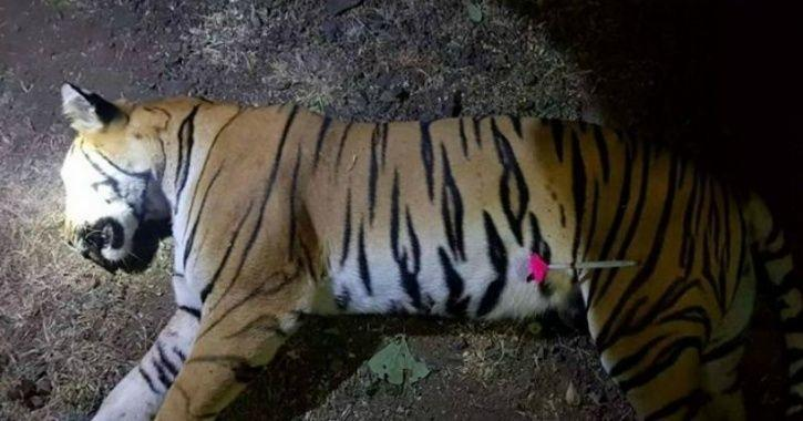 avni tiger க்கான பட முடிவு