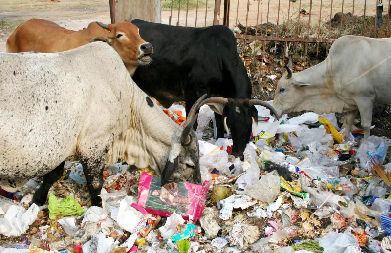 cow eating க்கான பட முடிவு