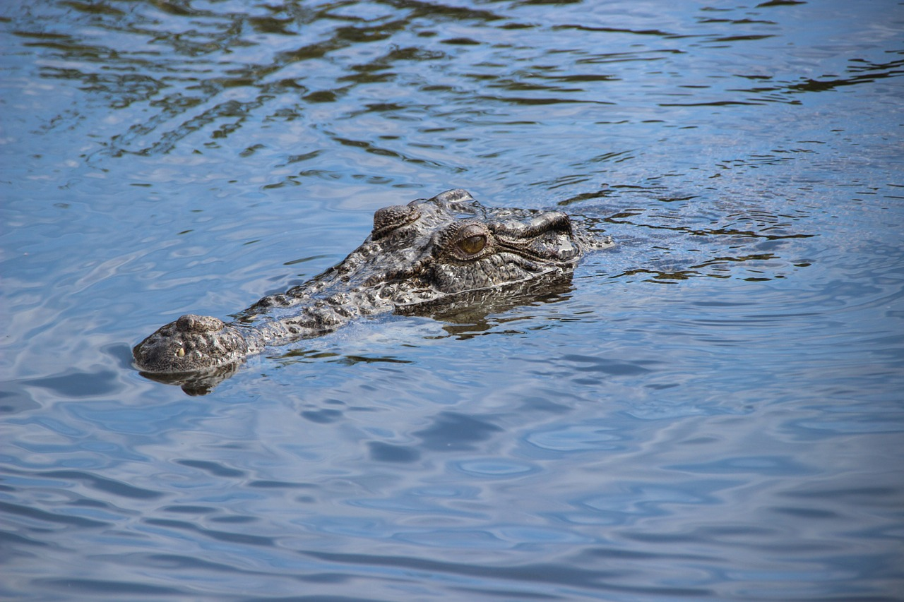 Crocodile,river,australia,nature,animal - free image from needpix.com