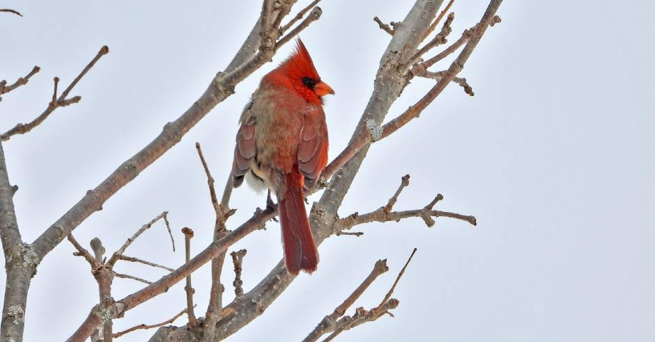 Rare bird: Half-male, half-female cardinal spotted in Pennsylvania