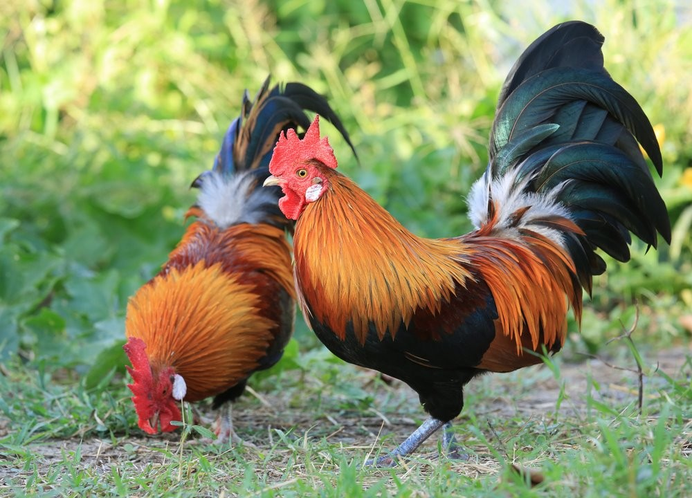 Image result for country chicken