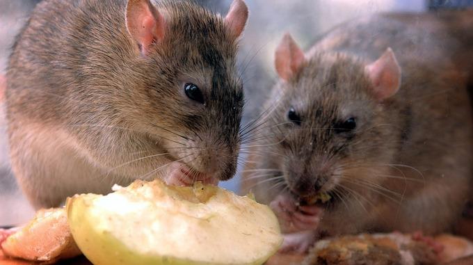 rat fever க்கான பட முடிவு