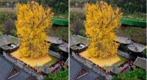 1400-years-old-ginkgo-tree