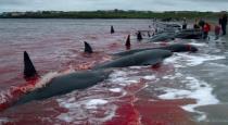 denmark-whale-murder-the-whole-sea