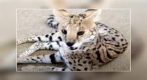 france-couple-want-savannah-kitten-bought-tiger-cub
