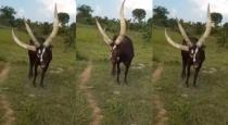 3-horned-bull-found-in-uganda-video-goes-viral