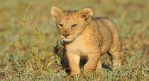 Man caught with lion cub in chennai airport