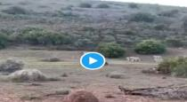 Brave mother buffalos save its cube viral video