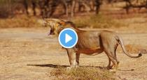 Lion giving birth to cube viral video