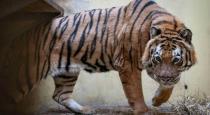Tiger mumbai