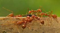 Red ant chatni for corona treatment