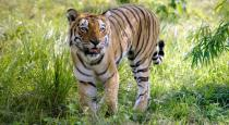 tiger shoot and killed