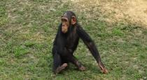 chimpanzee monkey washing cloths video goes viral