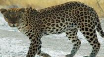 cheetah entered in house