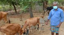 man gave money to corono refund by sells calves which foster for son education