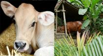 30-years-man-had-relationship-with-cow-cub