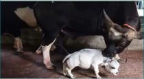 World smallest cow Rani viral video