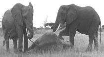 palani-elephany-dead-with-child