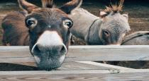 Donkey slaughter on rise in Andhra Pradesh as meat grows popular