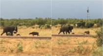baby-buffalo-attacks-elephant-video-goes-viral