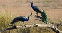 peacock-killed-by-poisioning-by-farmer