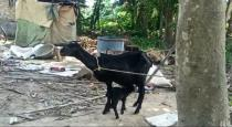goat-gives-birth-to-calf-with-eight-legs-in-west-bengal