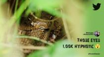 Rare picture of a king cobra eating another snake