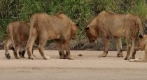 five-lions-fascinated-by-a-crab