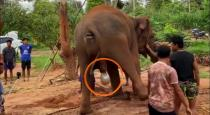 Elephant give live birth viral video