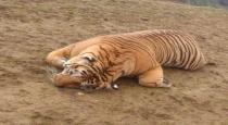 tiger-died-in-forrest