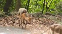 Monkey takes a ride on deer back