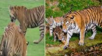 Mother tiger fighting with kids for not hunting