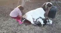 Young girl helps goat to giving birth viral video